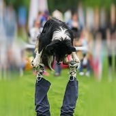 Dexterous performance of capable dog with his owner on dog playground. Almost a circus acrobatic stunt. Concept of friendship between man and dog. Happiness in motion. Dog sports training, funny show poster