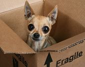 a tiny chihuahua in a box marked fragile poster