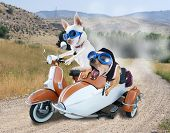 two chihuahuas in a scooter poster