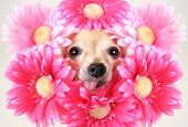 tiny chihuahua with flowers around his head poster