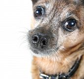 a chihuahua mix dog close up (focus on the nose) poster