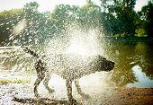 "Labrador Shaking Water off its Body, ""high-key"" lighting. poster"