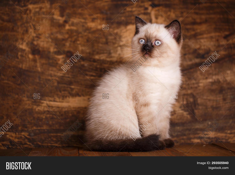 Scottish Straight Cat Image & Photo (Free Trial)   Bigstock