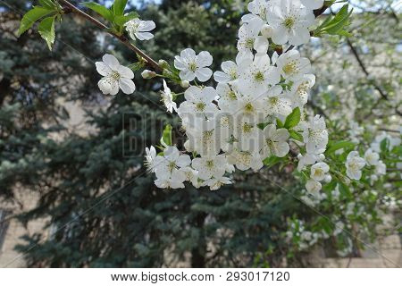 Florescence Of Sour Cherry Tree In Spring