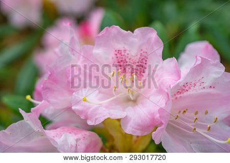 Rhododendron Im April 7 - 2.4.2019