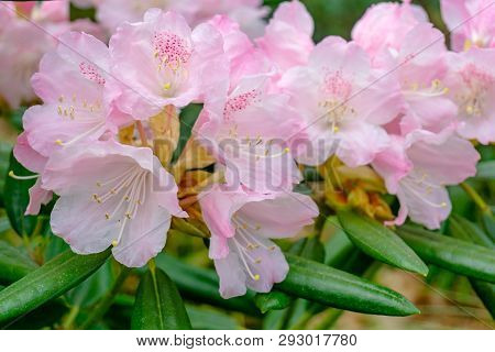 Rhododendron Im April 8 - 2.4.2019
