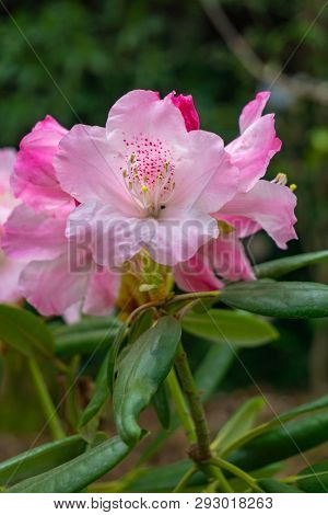 Rhododendron Im April 5 - 2.4.2019