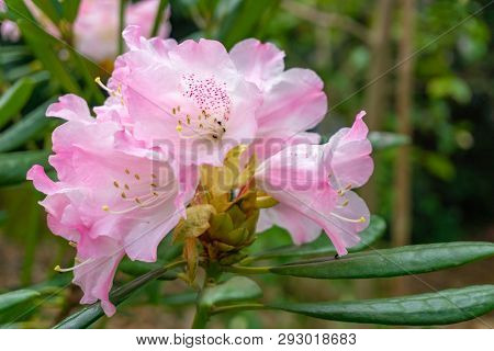 Rhododendron Im April 4 - 2.4.2019