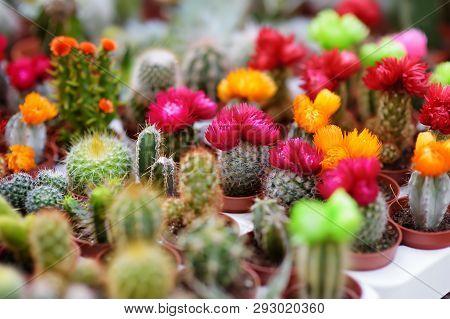 Famous Flower Market In Amsterdam . Flowering Cacti. Diversity.