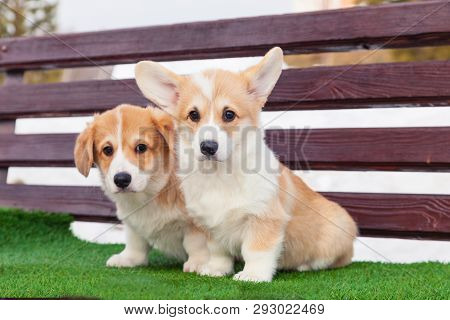 Cute Red Welsh Corgi Pembroke Puppies On The Grass, Walk Outdoor, Having Fun In White Snow Park, Win