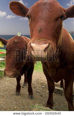 Dos vacas mirando a la cámara
