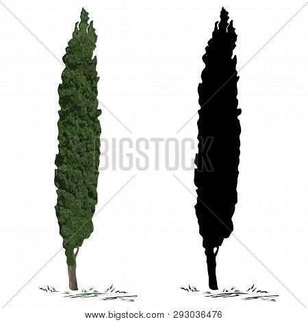 Cypress (cupressus L.), The Color Vector Image, And A Cypress Silhouette, The Black Vector Image, On