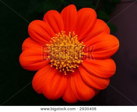 Close-up of a red sun flower on black background from a private garden in Visayas Philippines poster