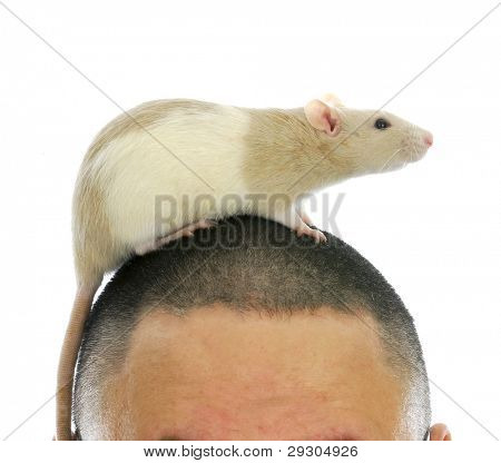 pet rat crawling on a man's head on white background
