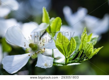 Water Drops. White Flowers Of The Trifoliate Orange, Poncirus Trifoliata Or Citrus Trifoliata Is Als