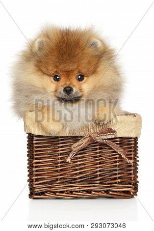 Cute Pomeranian Spitz Puppy Sits In Wicker Basket On White Background. Baby Animal Theme