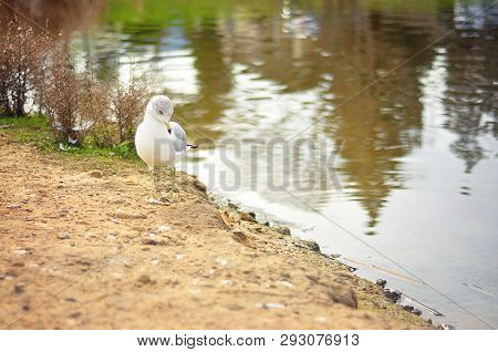 Baby Seagull Sitting On A Sandy Bank At A Lake In Marin County, San Francisco, California
