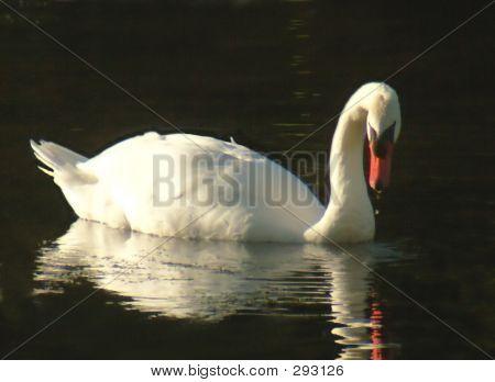 Serenity Swan