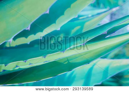 Striped Green Leaves Of Agave Plant With Thorns, Textured Background.