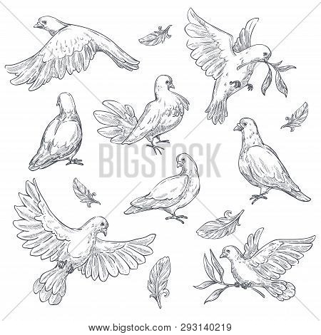 Dove Sketch Isolated Vector & Photo (Free Trial)   Bigstock