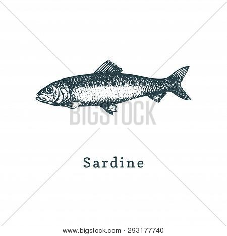 Illustration Of Sardine. Pilchard Fish Sketch In Vector. Drawn Seafood In Engraving Style. Used For