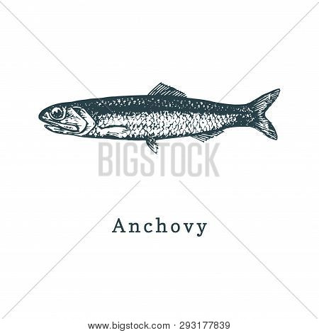 Illustration Of Anchovy. Fish Sketch In Vector. Drawn Seafood In Engraving Style. Used For Canning J
