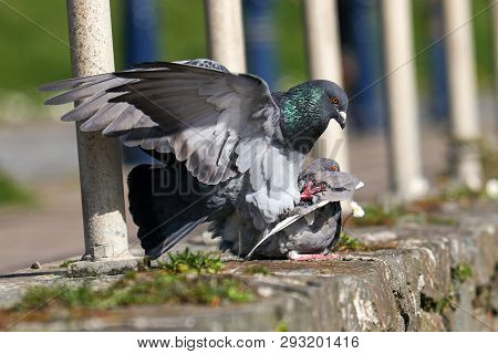 A pair of feral pigeons mating on a wall poster