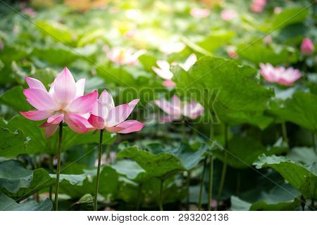 Closeup Beautiful Two Pink Lotus Blooming With Green Leaf With Sunlight In The Lake. Freshness Envir