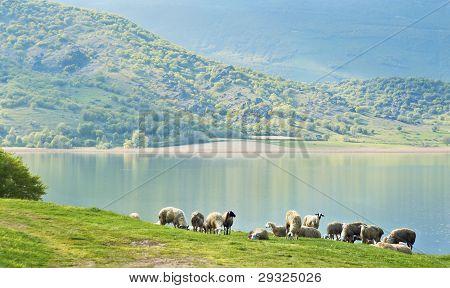 Sheep by the lake