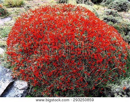 Neneo Macho (anarthrophyllum Desideratum) In Torres Del Paine National Park, Southern Patagonia, Chi