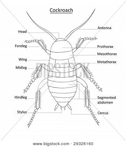 Cockroach anatomy- line art with labels