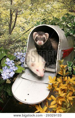 Ferrets in a Mailbox