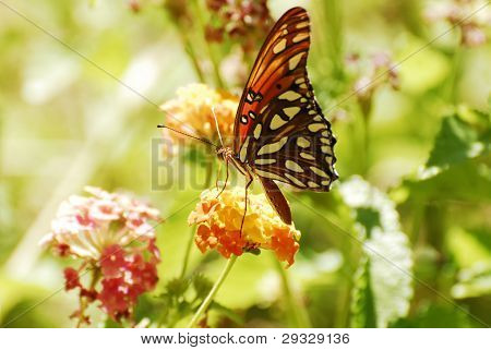 A Gulf Fritillary Butteryfly Alit on Blossoms