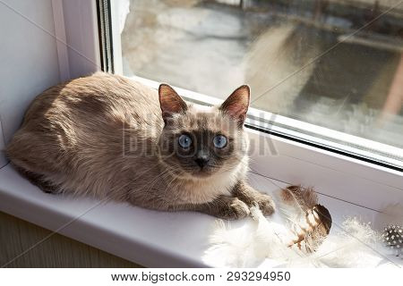 poster of Bird hunting. The cat is a hunter. gray siamese cat sitting near the window on the windowsill next to different bird feathers. Cunning look hunter cat. The cat gets its food.