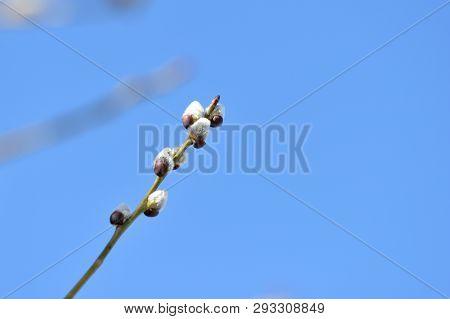 Branch of pussy-willow on background of blue sky close up poster