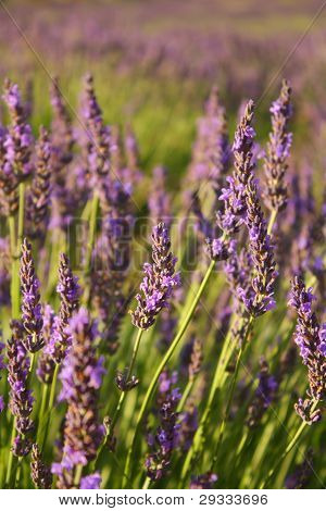 Close up of lavender flowers in a field, South Africa