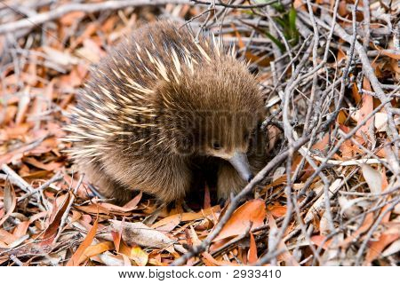Echidna In Forest In Tasmania