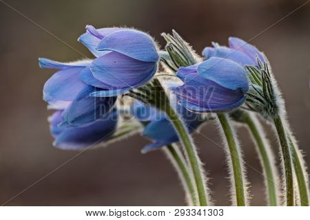 Beautiful Protected And Rare Flower  Pulsatilla Patens And Its Hybrids With Pulsatilla Vernalis Bloo