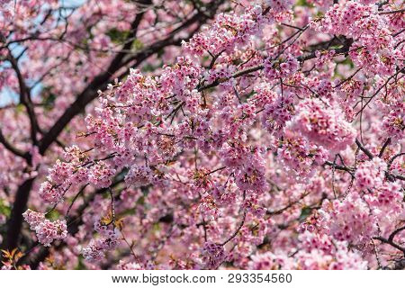 Sakura (Cherry Blossom)  blooming with blue sky in spring around Ueno Park in Tokyo , Japan