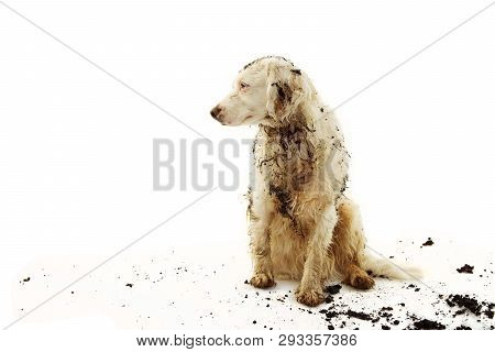 Banner Dirty Terrier Dog Isolated. Sad And Guilty Puppy After Play In A Mud Puddle With On White Bac
