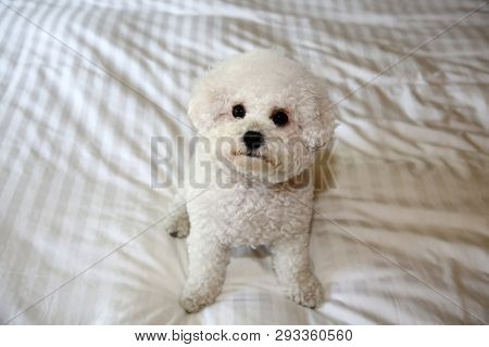 Bichon Frise Dog. Purebred Bichon Frise Dog. A sweet white puppy dog on a white bed sheet. Bichons are mans best friend.