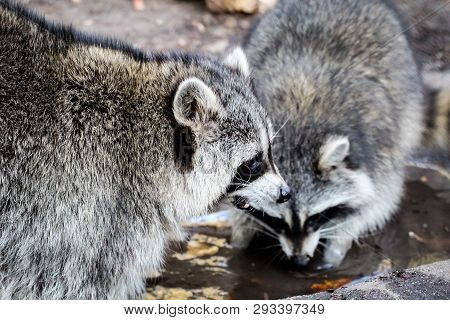 This Are Two Raccoon On The Water