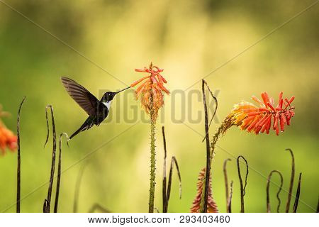 Colared Inca Howering Next To Yellow And Orange Flower, Colombia Hummingbird With Outstretched Wings