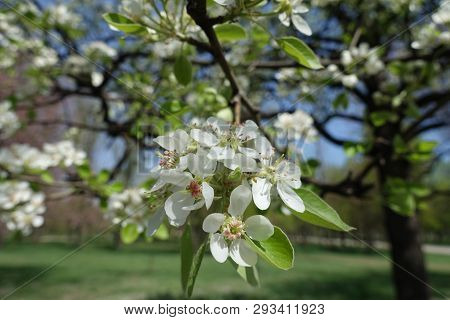Florescence Of Pear Tree In Spring Garden
