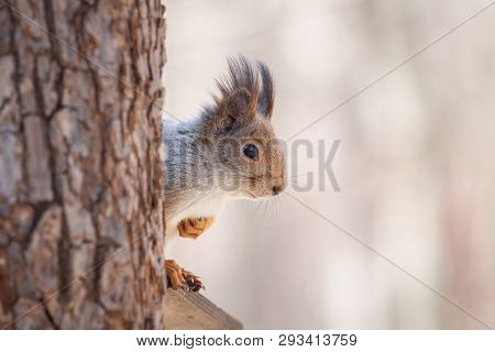Squirrel On A Tree Spring