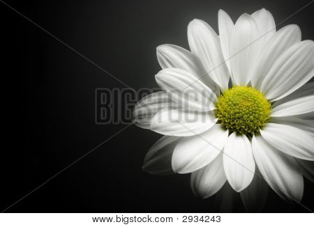 Daisy On Black Background.