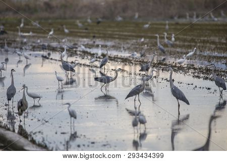 Rice Field In Albufera Of Valencia Full Of Birds On A Tilling Day At Sunset.