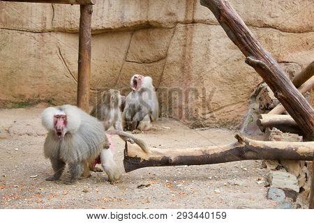 Schreiender Affe Männlich Affen Familie Überrascht Tiere