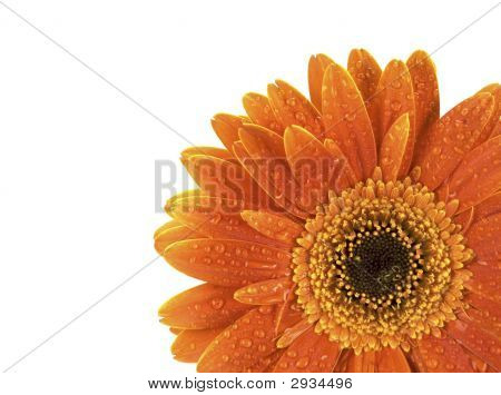Gerbera With Water Drops