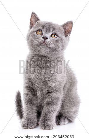Scottish Straight Kitten. Isolated On A White Background. Gray Kitten On Photo Studio